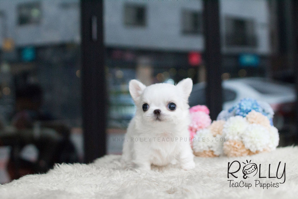 Mochi - Long Hair Chihuahua - Rolly Teacup Puppies