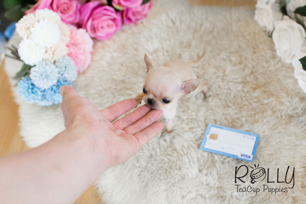 Coco - Chihuahua - Rolly Teacup Puppies