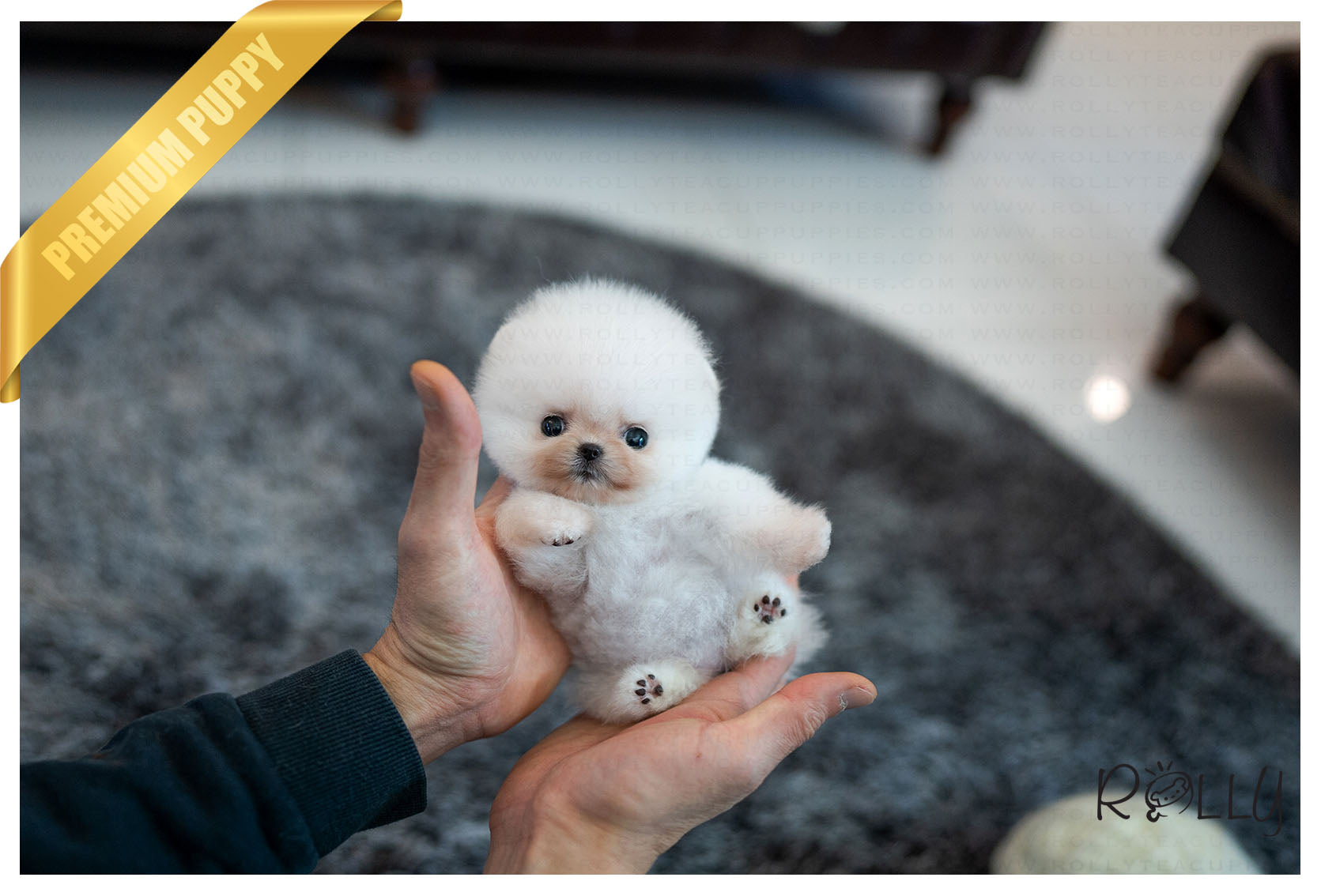 Purchased By Matos Mochi Pomeranian F Rolly Teacup Puppies