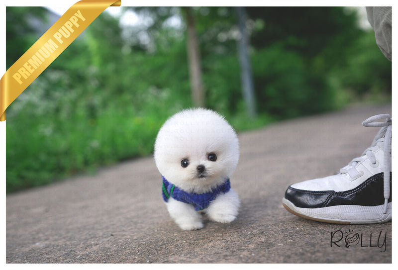 (Purchased by Moon) MOCHI - Pomeranian. F - Rolly Teacup Puppies - Rolly Pups