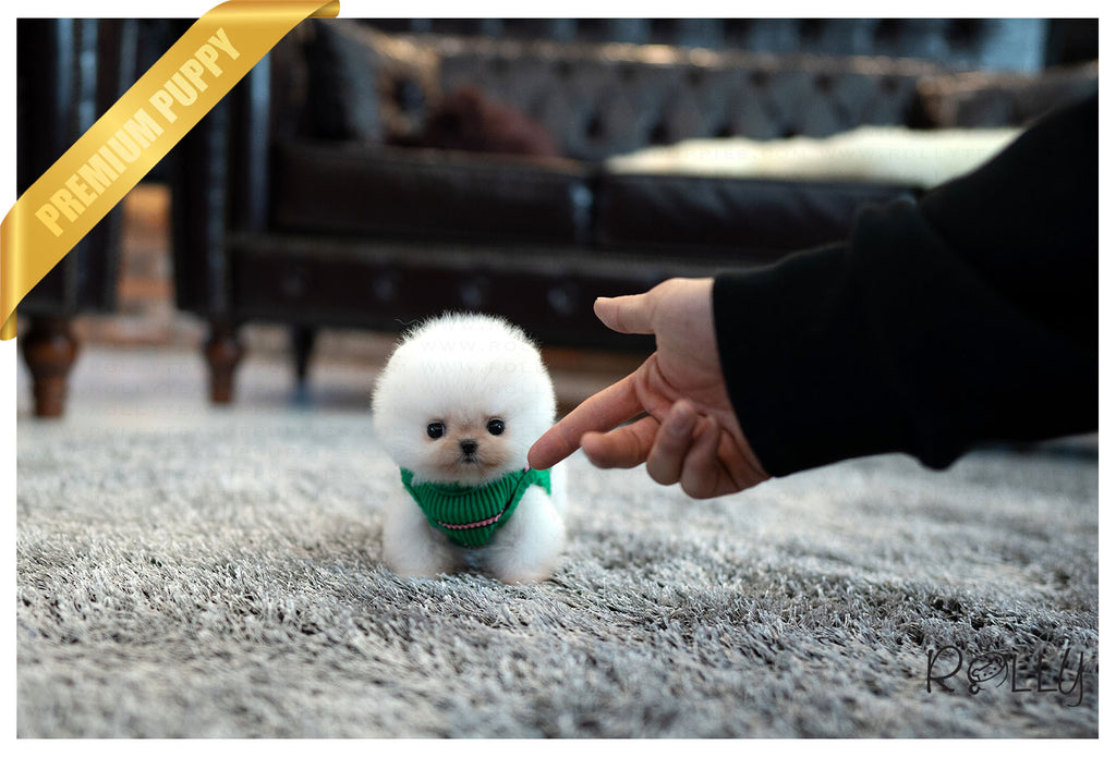 (Purchased by Matos) Mochi - Pomeranian. F - ROLLY PUPS INC