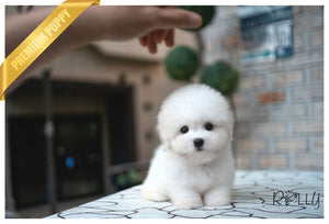 (Purchased by Korman) MOET - Coton De Tulear. F - Rolly Teacup Puppies - Rolly Pups
