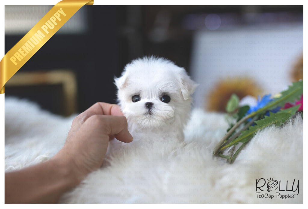 (Purchased by Lopez) Molly - Maltese. F - Rolly Teacup Puppies - Rolly Pups