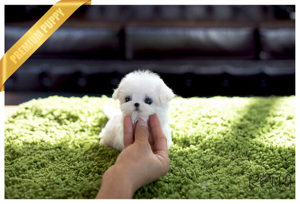 (Purchased by Lopez) Molly - Maltese. F - Rolly Teacup Puppies