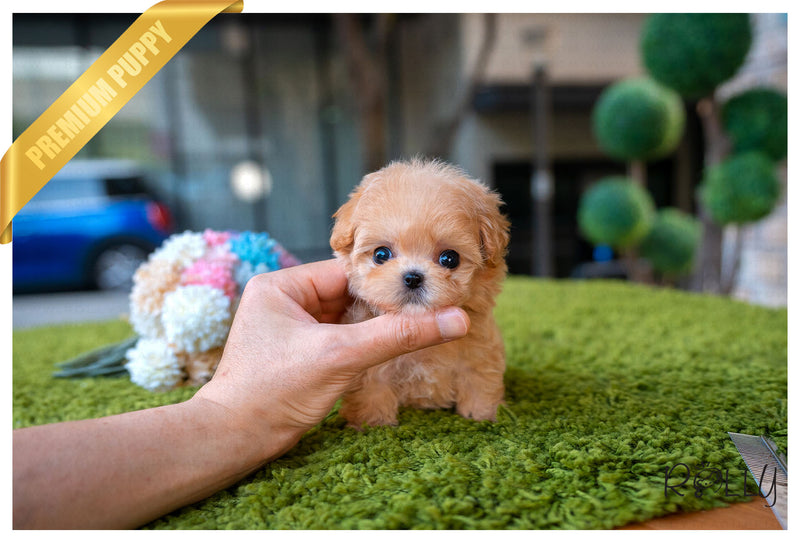 (Purchased by Boyer) MOLLY - Maltipoo. F - Rolly Teacup Puppies