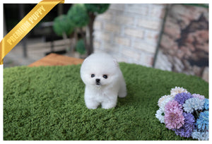 (Purchased by Almeida) MOLLY - Pomeranian. F - Rolly Teacup Puppies