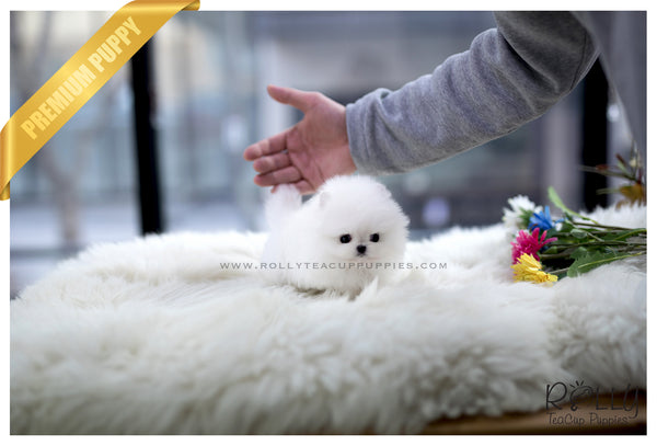 (SOLD to Hakkinen)Molly - Pomeranian. F