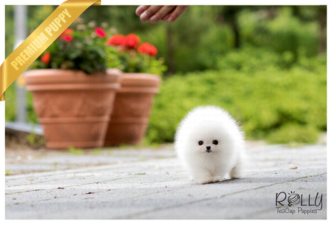 (SOLD to Chinpong)Molly - Pomeranian. F - Rolly Teacup Puppies