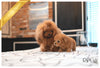 (Purchased by Ahlers) MOLLY - Poodle. F - Rolly Teacup Puppies - Rolly Pups