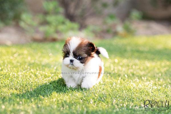 (SOLD to Anderson) Molly - Shih Tzu. F