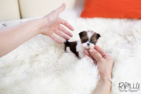 Sold To Anderson Molly Shih Tzu F Rolly Teacup Puppies