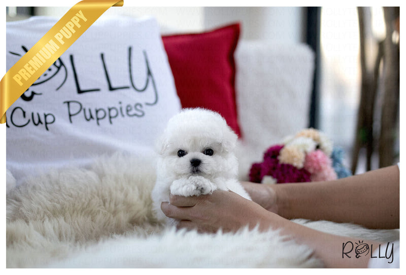 (Purchased by Ramirez) Momo - Bichon. M - Rolly Teacup Puppies