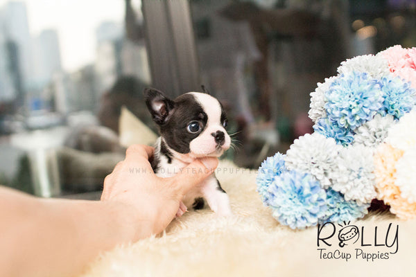 Momo - Boston Terrier - Rolly Teacup Puppies