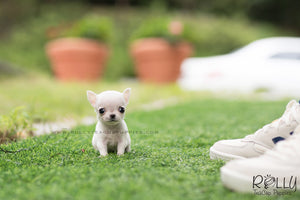 (SOLD to Audet) Momo - Chihuahua. M - Rolly Teacup Puppies - Rolly Pups
