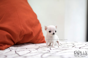 (SOLD to Audet) Momo - Chihuahua. M - Rolly Teacup Puppies