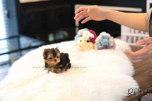 (SOLD to Rashed) Momo - Yorkie. M - ROLLY PUPS INC