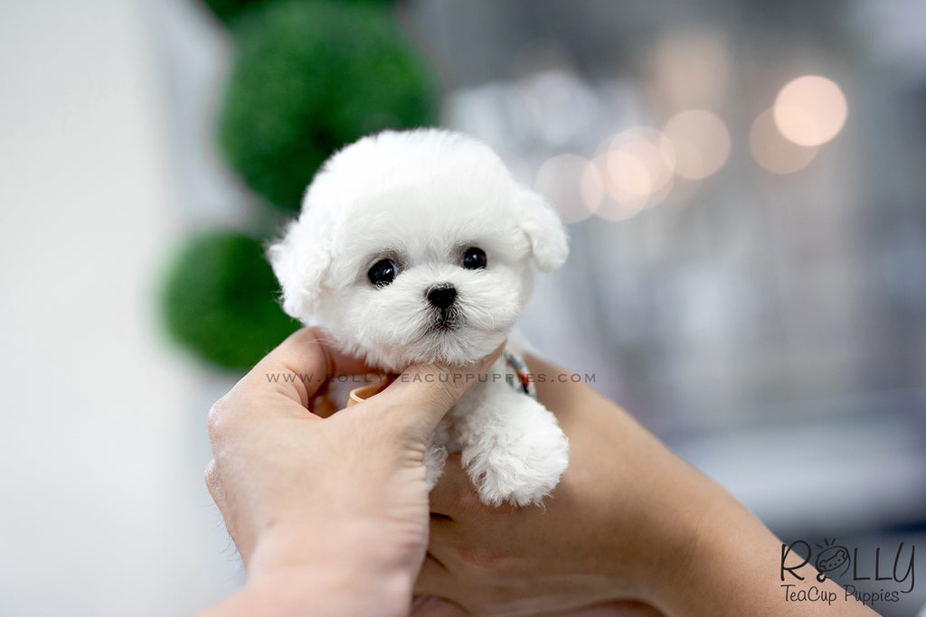 sold to redmond star bichon frise f rolly teacup puppies