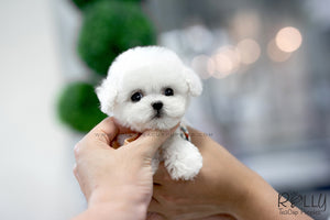 (SOLD To Redmond) Star - Bichon Frise. F - Rolly Teacup Puppies - Rolly Pups