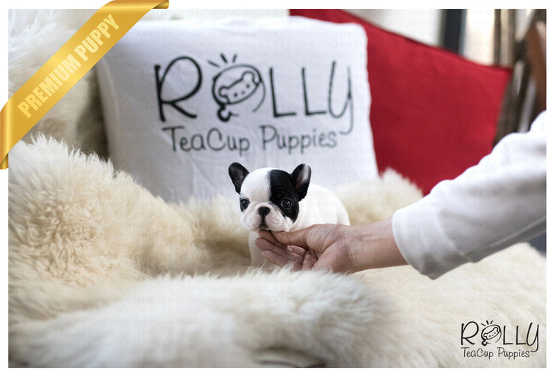 (Purchased by Strauss) Moon Pie - French. M - Rolly Teacup Puppies - Rolly Pups