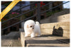 (PURCHASED by Tatang) MORRIS - Bichon. M - Rolly Teacup Puppies - Rolly Pups
