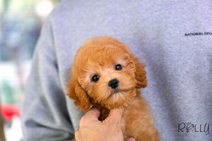 Muffin - Doodle. F - Rolly Teacup Puppies