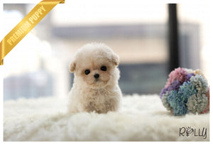 (Purchased by Sam) Muffin - Poodle. F - Rolly Teacup Puppies - Rolly Pups