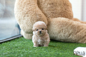 (Purchased by Gail) Muffin - Poodle. F - Rolly Teacup Puppies