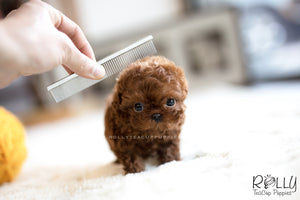 (SOLD to Marafie) Mushroom - Poodle. M - Rolly Teacup Puppies - Rolly Pups