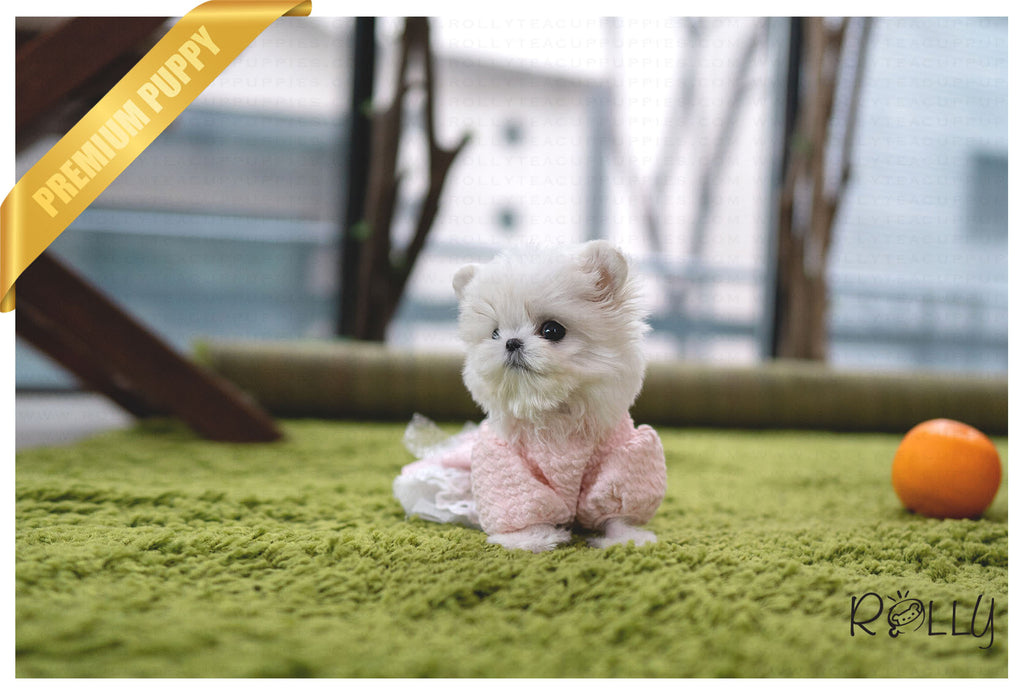 (PURCHASED by Williams) NANA - Maltese. F - Rolly Teacup Puppies - Rolly Pups