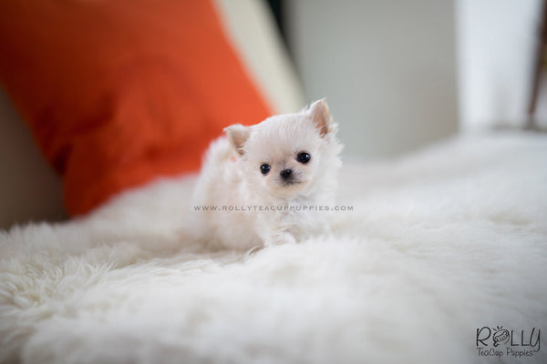 (SOLD to Boles) Nacho - Chihuahua. M - Rolly Teacup Puppies