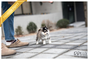 (SOLD to Hochschild) Nasa - Pomsky. F - Rolly Teacup Puppies
