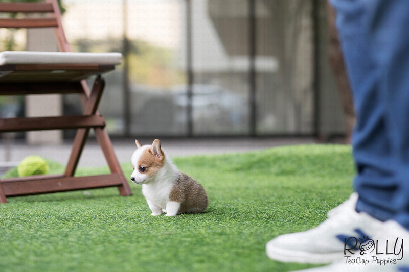 (Purchased by Chu) Nana - Corgi. F - Rolly Teacup Puppies - Rolly Pups