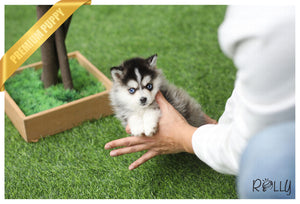 (Purchased by Werninghaus) Nana - Pomsky. F - Rolly Teacup Puppies