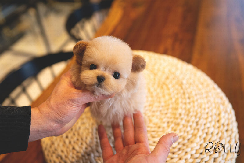 (RESERVED by Alshamsi) NATTO - Maltipoo. M - ROLLY PUPS INC