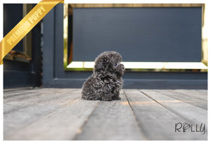 (PURCHASED by Mang) NIKKI - Poodle. F - ROLLY PUPS INC