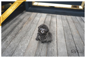 (PURCHASED by Mang) NIKKI - Poodle. F