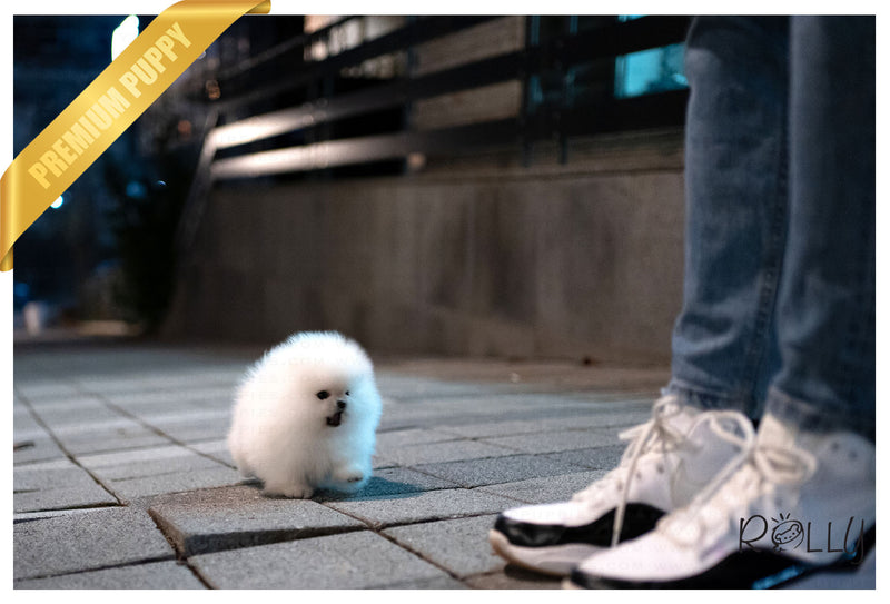 (Purchased by Erich) Nina - Pomeranian. F - Rolly Teacup Puppies