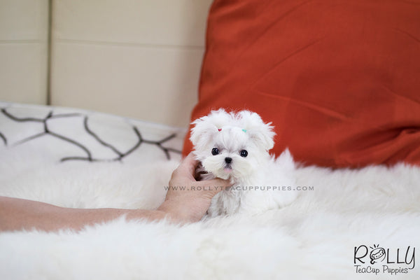 (SOLD to Weismann) Noah - Maltese. M