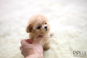 (SOLD to Luo) Noah - Poodle. M - ROLLY PUPS INC