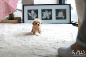 (SOLD to Luo) Noah - Poodle. M - Rolly Teacup Puppies - Rolly Pups