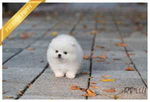 (Purchased by Huff) Noble - Pomeranian. M - Rolly Teacup Puppies