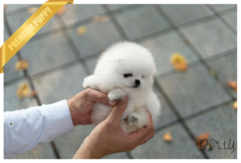(Reserved by Huff) Noble - Pomeranian. M - Rolly Teacup Puppies
