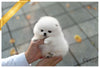 (Purchased by Huff) Noble - Pomeranian. M - Rolly Teacup Puppies - Rolly Pups