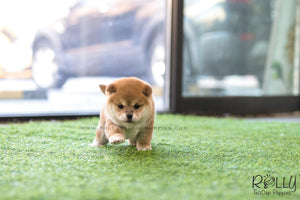 (SOLD to Bellaiche) Sachi - Shiba Inu. M - Rolly Teacup Puppies