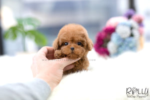 (SOLD to Lobato) Nora - Poodle. F - Rolly Teacup Puppies - Rolly Pups
