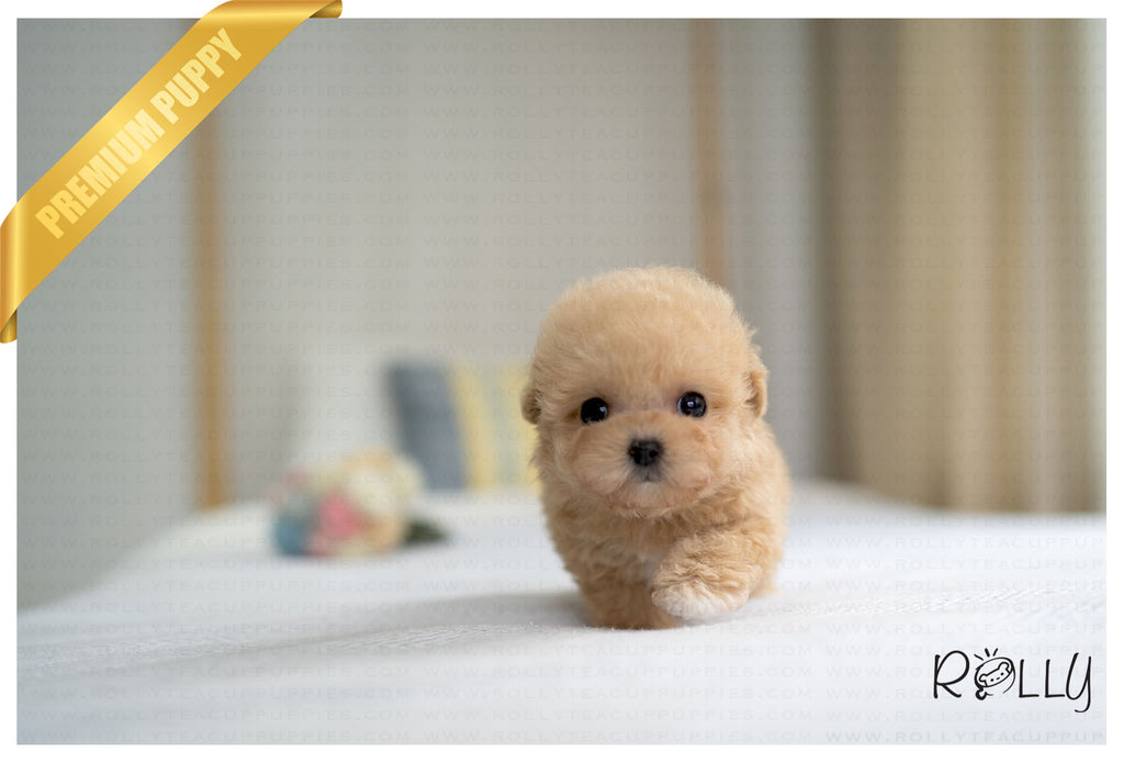 (PURCHASED by Satterfield) NOUGAT - Poodle. F - Rolly Teacup Puppies - Rolly Pups