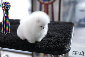 (Purchased by Cao) Nova - Pomeranian. F - Rolly Teacup Puppies