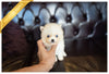 (PURCHASED by Aguilar) NOVA - Pomsky. F - Rolly Teacup Puppies - Rolly Pups
