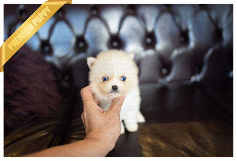 (PURCHASED by Aguilar) NOVA - Pomsky. F - ROLLY PUPS INC