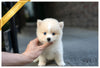 (Purchsed by Grigoryan) NOVA - Pomsky. F - Rolly Teacup Puppies - Rolly Pups